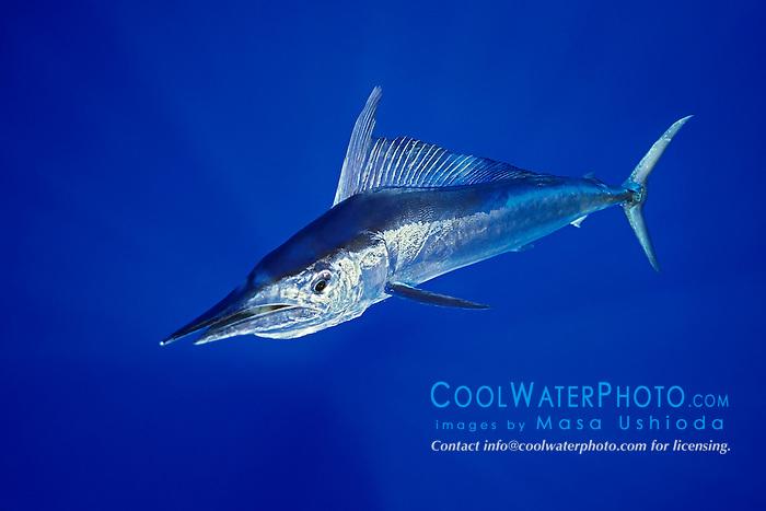 short-billed spearfish, Tetrapterus angustirostris, Kona Coast, Big Island, Hawaii, USA, Pacific Ocean