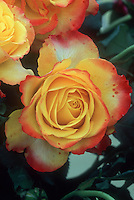 Rosa &lsquo;Tequila Sunrise&rsquo; aka &lsquo;Dicobey&rsquo; Hybrid tea  roses in orange yellow and red yellow picotee bicolors, unusual color
