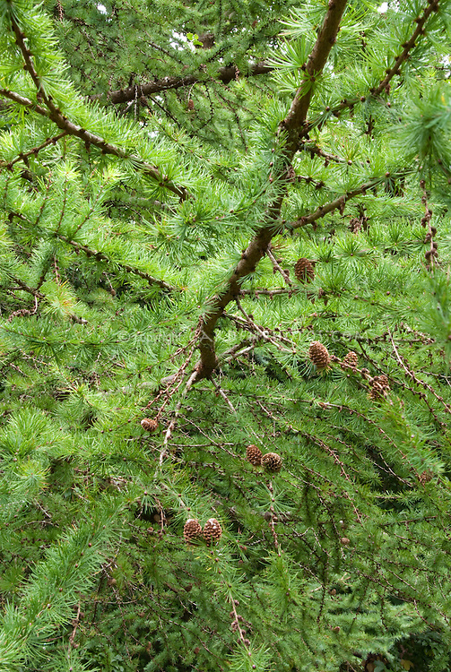 Larix leptolepis Japanese Larch with cones