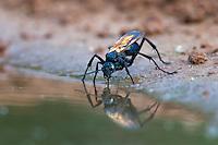Tarantula Hawk Wasp drinking