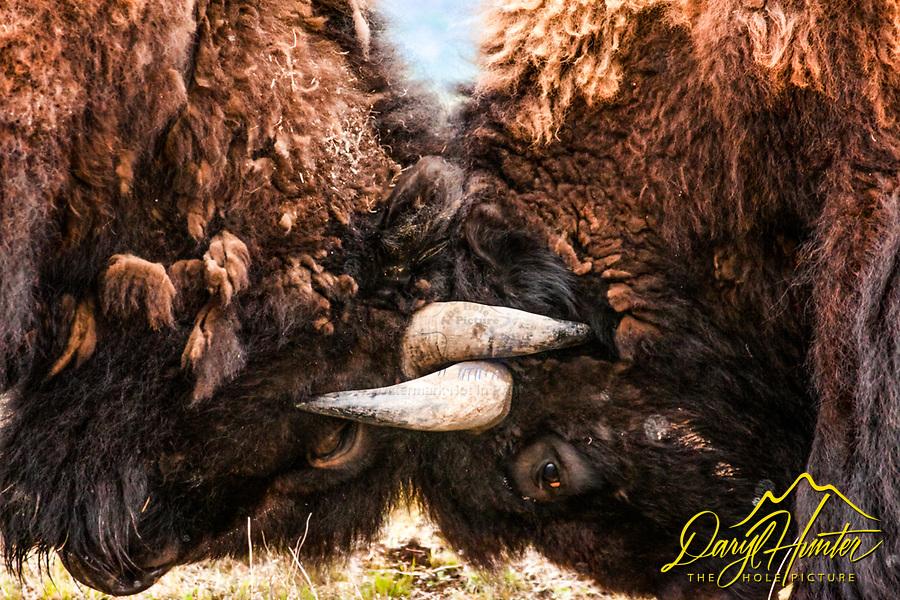 Bison, bulls, fighting, locking horns, metaphor,