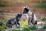 Arctic Fox mother and cub, Ny-Alesund, Alopex lagopus, living under the &quot;London Houses&quot; , the official name of the Dutch research station at the international scientific research base at Ny-Alesund, Svalbard. The mother had lost her white winter coat in the preceding weeks. This is a wild animal,  and the id-tags were placed on her ears by researchers. Some years ago, Dutch researchers had moved into the &quot;London Houses&quot; to observe barnacle geese that migrate annually from the Netherlands. Soon, however, they had a neighbour - the fox, which then proceeded to prey upon the study subjects.