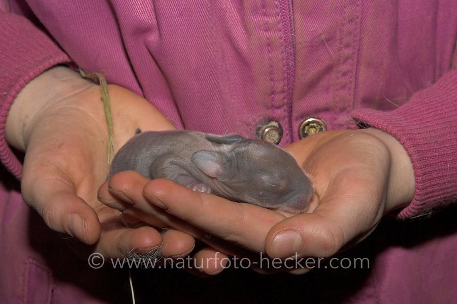 Zwergkaninchen, Zwerg-Kaninchen, wenige Tage altes, noch blindes Junges auf den Händen, dwarf rabbit