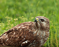 "Red-tailed Hawk in spring. A bird of prey, one of three species colloquially known in the United States as the ""chickenhawk"""