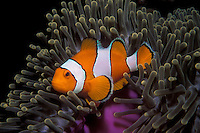 A Western Clown Anemonefish, Amphiprion ocellaris, snuggles among the tentacles of its host sea anemone.  Similan Islands Marine National Park, Thailand, Andaman Sea