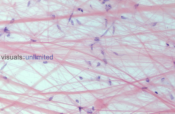 Areolar tissue. LM X60