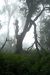 Mist covered trees in El Hierro forrest, Canary Islands, Spain.
