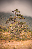 Solitary beech tree near Greenstone Saddle, Fiordland National Park, Southland, South Island, World Heritage Area, New Zealand