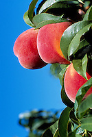 Ripe Peaches growing on Orchard Tree Branch, South Okanagan Valley, BC, British Columbia,  Canada - Fresh Fruit