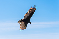 United States, California, San Simeon. A Turkey Vulture looking for prey.