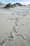 Cape Mole-Rat burrows on the sandy beach, De Mond Nature Reserve, Western Cape, South Africa