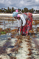 """Jambiani, Zanzibar, Tanzania.  Woman Harvesting Sea Weed, to export to Asian markets.  This work can only be done at low tide.  Women receive about twelve cents per kilo, """"thin and dried."""""""