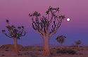 Quivertrees at dusk with full moon in Namib Desert