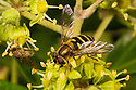 Hoverfly (Syrphus ribesii) feeding on Ivy flowers (Hedera helix). Peak District National Park, Derbyshire, UK. November.