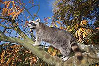 """Waschbär, etwa 6 Monate altes Jungtier klettert in einem Baum, Männchen, Rüde, Waschbaer, Wasch-Bär, Procyon lotor, Raccoon, Raton laveur, """"Frodo"""""""