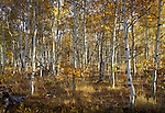 Fall Aspens, Boulder Mountains<br />