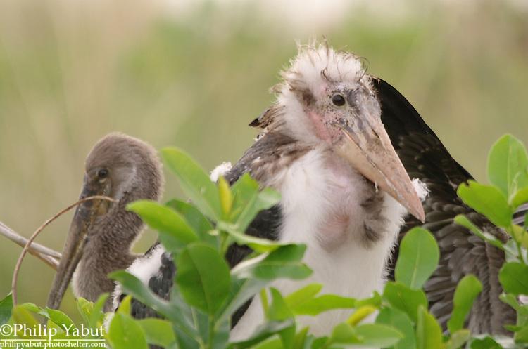 Juvenile sacred ibis (Threskiornis aethiopicus) and marabou stork chick (Leptoptilos crumeniferus), Moremi Reserve, Okavango Delta, Botswana