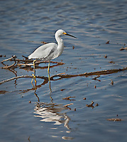 Snowy Egret standing in water with one &quot;yellow slipper&quot;<br />