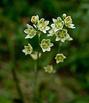 The White Camas or Showy Death Camas with it's pretty greenish-white flowers which is a highly poisonous flower
