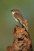 571018022 a wild eastern phoebe sayornis phoebe perches on a dead stump near a small pond in the rio grande valley of south texas