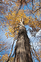 Shagbark Hickory (Carya ovata)  in Autumn Looking Up Tree Trunk