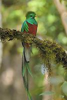 Resplendent Quetzal (Pharomachrus mocinno), male perched on a lichen covered branch, Cierro La Muerte, Costa Rica.