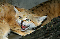 Sand Cat snarling (Felis margarita)