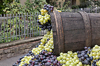 Grape harvest, La Festa dell'Uva, Impruneta, Italy, Tuscany.