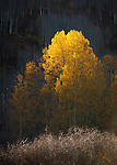 Aspens in autumn. Gothic, Colorado near Crested Butte.