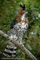 Ornate Hawk-Eagle (Spizaetus ornatus), portrait, tropical rainforest, Rio Tuichi, Madidi National Park, Bolivia.