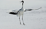 Red Crowned Crane, Grus japonensis, dancing, displaying, wings open, Hokkaido Island, japanese, Asian, cranes, tancho, crested, white, black,  wilderness, wild, untamed, photography, ornithology, snow. .Japan....