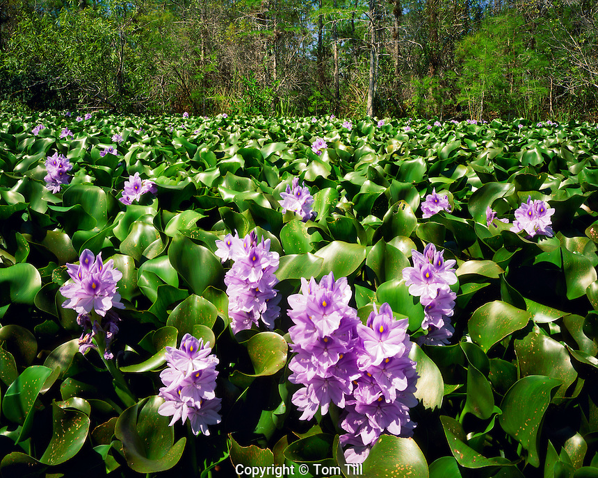 Water Hyacinth Blooms in Spring, Big Cypress National Preserve, near Everglades National Park, Florida
