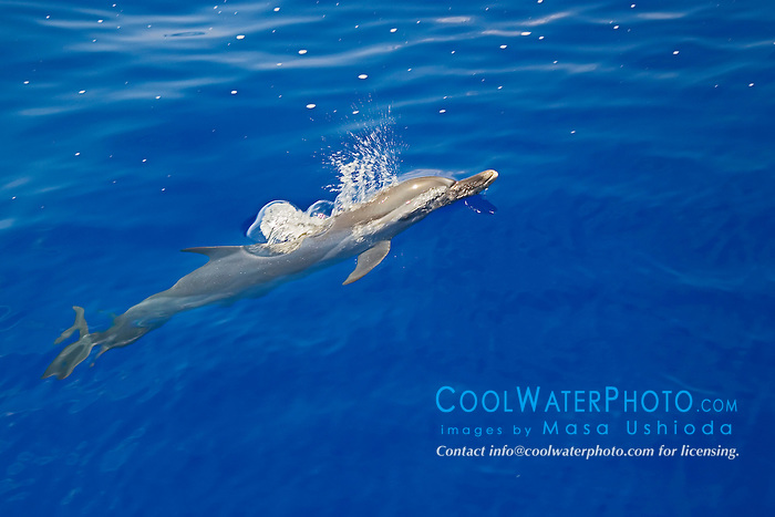 Pantropical Spotted Dolphins, Stenella attenuata, spouting, off Kona Coast, Big Island, Hawaii, Pacific Ocean.