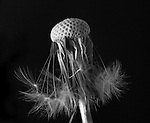 Close up of dandelion flower with few seed heads