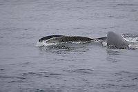 Fin Whale ( Balaenoptera physalus) lunge feeding on krill, Spitzbergen, Arctic Norway, North east Atlantic