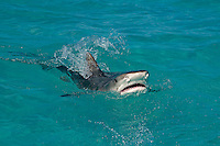 Breaching Tiger Shark