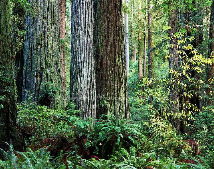 Prairie Creek Redwoods, CALIFORNIA, Redwood NP
