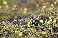 Turnstone feeds on the pollen of the portulaca flowers, South Plaza Island, Galapagos Islands, Ecuador