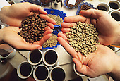 Hands holding coffee beans for taste and smell analysis in the laboratory