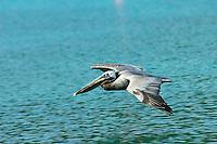 Pelican flying at Maho Bay, ST John.Virgin Islands National Park