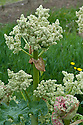 Flowerheads of a rhubarb plant that has been allowed to go to seed, early May.