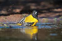 561850049 a wild brilliant yellow audubon's oriole icterus graduacauda bathes in a small pond on beto gutierrez santa clara ranch hidalgo county lower rio grande valley texas united states