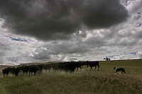 A rancher moves cattle across the land with the help of a herding border collie. The dogs are used for sheep herding that cuts down the spread of invasive leafy spurge which cattle won't eat.