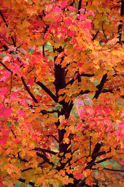 glowing leaves of red maple october glory in fall. Black Bedroom Furniture Sets. Home Design Ideas