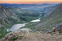 Just after sunrise atop Colorado's most accessible 14er, a mountain goat takes in the view in this image from Colorado. You can drive to the top of Mount Evans, but if you are more adventurous, you can also hike up to the peak. I must admit, it is anti-climactic when you hike for several hours only to arrive at a large parking lot at the top!