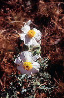 POPPIES - PAPAVERACEAE FAMILY.Prickly Poppy Flowers<br /> Argemon Munita