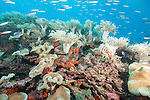 Bligh Waters, Vatu I Ra Passage, Fiji; an aggregation of Scalefin Anthias, Ruddy Fusilier and other reef fish swimming above a large colony of golden, leather soft corals