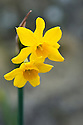 Narcissus fernandesii, early March.