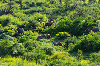An Elephant herd across the river from Pestana Kruger Lodge, Kruger National Park, South Africa.
