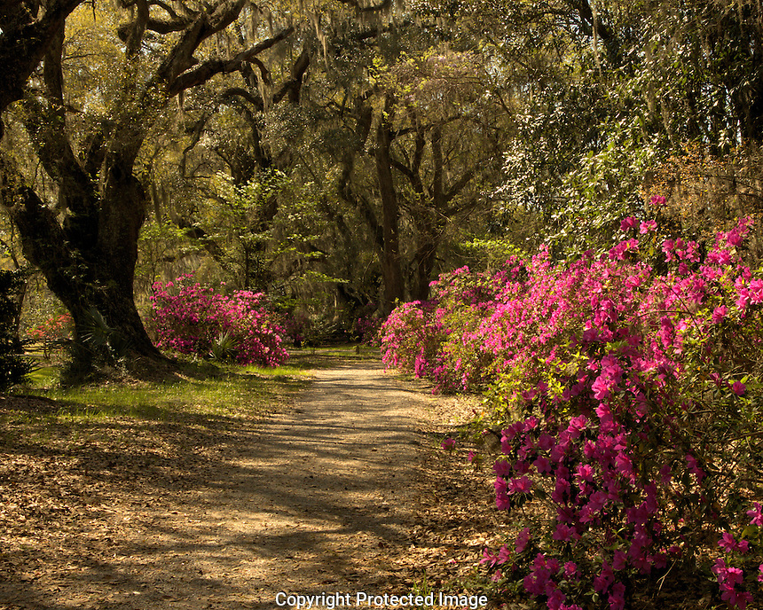 azaleas, camelias, spring bloom, walking paths, flower paths, magnolia gardens and audubon swamp